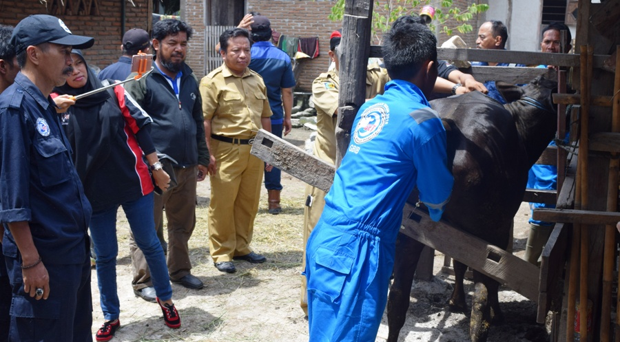 Salah seorang petugas dari Distanak Polman sedang memeriksa kesehatan seekor sapi. Pemkab Polman kini tengah menggalakkan program Inseminasi Buatan (IB) dalam Opsus Semua Induk Wajib Bunting (Siwab). (Foto: Burhanuddin HR)